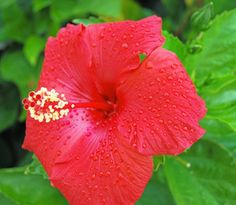 The hibiscus comes in a variety of brilliant colors.