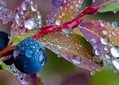 Huckleberry and leaves macro in autumn, Cascade Mountain Range, Washington, USA Water Drops, Rain Drops, Autumn Trees, Autumn Leaves, Morning Dew, Wild Edibles, Dew Drops, Macro Photography, Book Photography