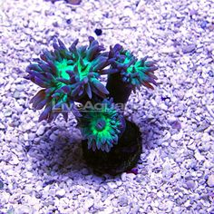 Duncanopsammia Coral, Aquacultured USA always had luck with duncans $30 low to mod light low flow