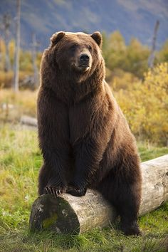 A large brown bear - by Doug Lindstrand in #mukluks country #stegermukluks  mukluks.com