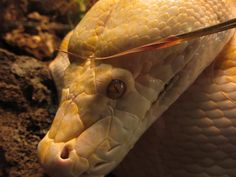 Albino Reticulated Python by Orcanaria on DeviantArt Dallas Zoo, Reticulated Python, Giant Snake, Reptiles And Amphibians, Albino, Snakes, Animals Beautiful, Wolf, Wildlife