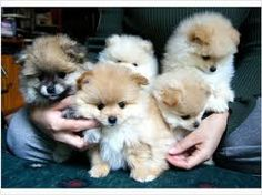 pomeranian puppies for sale in toronto - Google Search