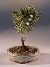 Bonsai Boys Mount Fuji Serissa Small serissa foetida ** Be sure to check out this awesome product.