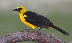 Foto iratauá-grande (Gymnomystax mexicanus) por Bruno Salaroli   Wiki Aves - A Enciclopédia das Aves do Brasil