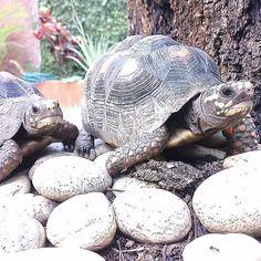 El Día Mundial de la Tortuga se celebra todos los años el 23 de mayo. Se trata de un día de información concienciación y defensa de uno de los reptiles con más antigüedad las tortugas. Origen Este día es un evento organizado y patrocinado por la American Tortoise Rescue con el principal objetivo de concienciar a la población mundial y mejorar el respeto y el hábitat de las tortugas así como de la aplicación de medidas para frenar la extinción de este tipo de animales. Tortuga La tortuga es…