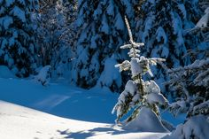 Sunlit - Little snow covered tree enduring the winter snows on the Blue Mountains of NE Oregon.