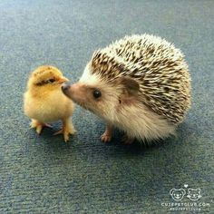 Little ducky... lil' hedgehog...