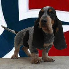 Découvrez nos Photos http://www.chiotselevagedannaoned.com MARCHELINE d'An Naoned Femelle Basset bleu de Gascogne née le 01/12/16 (Houston d'An Naoned x Hamio d'An Naoned) #basset #bassetbleudegascogne #norway #norvege #puppy #puppyoftheday #puppypics #dog #pet #bassetoftheday #petoftheday #dogpics #bassetpics #petpics #bassetforlife #amourdechien #doglove #cutedog