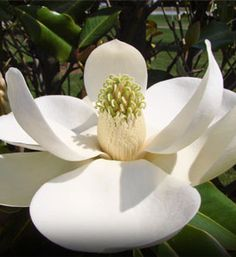 ~ Southern Magnolia  Magnolia grandiflora..        Creamy White Fragrant Flowers      Late Blooming Flowers      Broad Leafed Evergreen      Iconic Southern Tree      Grows to 60' to 80', 40' spread      Zones 6 to 10