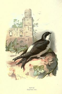 Familiar wild birds /.  London ; New York :Cassell,1883..