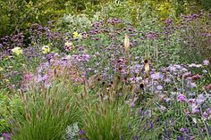 PENNISETUM 'CASSIAN'S CHOICE' IN PURPLE BORDER