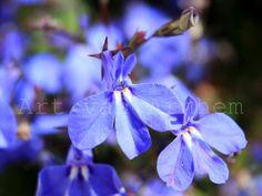 lovely blue blossom