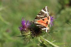Příroda v okolí Jakubova Moth, Insects, Animals, Animales, Animaux, Animal, Animais