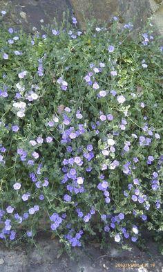Purple convulvulus..beautiful falling over bluestone wall..