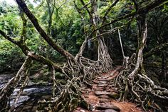 The tree roots of Meghalaya, India: A normal wooden bridge would quickly rot in Meghalaya's subtropical climate — but these bridges consist of ancient tree roots and vines, and they're very much strong and alive.