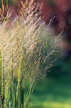 Best Perennials, Flowers Perennials, Shade Perennials, Shade Plants, Cool Plants, Blue Oat Grass, Perennial Geranium, Perennial Grasses, Planting In Clay