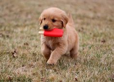 Astonishing Everything You Ever Wanted to Know about Golden Retrievers Ideas. Glorious Everything You Ever Wanted to Know about Golden Retrievers Ideas. Cute Dogs And Puppies, I Love Dogs, Doggies, Cute Animals Puppies, Cute Dogs Breeds, Corgi Puppies, Golden Puppy, Puppy Care, Cute Baby Animals