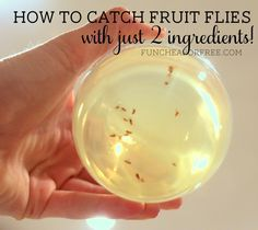 How to catch fruit flies: 2 ingredient death cocktail: apple cider vinegar and…
