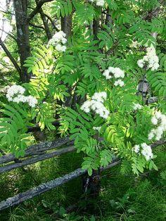 Pihlaja kukkii  nyt  rowan in bloom