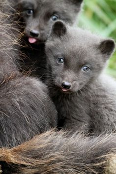 Arctic Blue Fox Cubs. In Greenland there are two races of the arctic fox, the white and the blue, which both change colour during the summer and winter. The blue arctic fox changes from a dark grey-brown summer coat to a grey-black coat in the winter with a bluish tinge