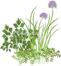 """""""A Need to Know Herb-Thyme!"""" Thyme is a great  #herbal remedy that has #health benefits,loaded with #antioxidants, relieves coughs, fight bacteria, great for bad breath, menstrual cramps and so much more, READ MORE@ www.organic4greenlivings.com"""