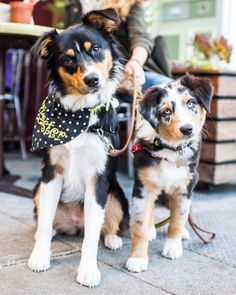 "thedogist: "" Jackson & Moose, Australian Shepherds m/o & 10 w/o), Ave & Lincoln Way, San Francisco, CA Australian Shepherds, I Love Dogs, Puppy Love, Jackson, Farm Dogs, Border Collie, Mans Best Friend, Beautiful Creatures, Moose"