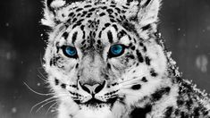 Snow Tiger-HD Wallpaper