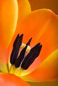 Tulips from Amsterdam. Exotic Flowers, Orange Flowers, Beautiful Flowers, Macro Flower, Flower Art, Fotografia Macro, Flower Pictures, Macro Photography, Flower Photography