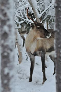 Reindeer in Kittilä, Lapland in Finland