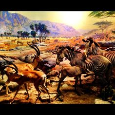 Akeley Hall of African Mammals via @jepires87