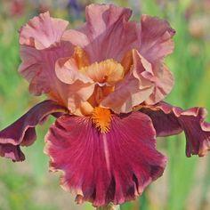 Iris germanica Impressionist