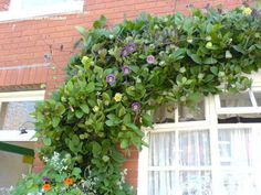 Cathedral Bells, Cup and Saucer Vine (Cobaea scandens) Plabted seeds for this this year Grow plant grow :)