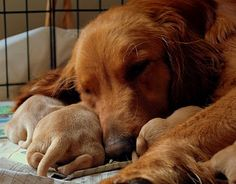 Golden Retriever mom and her puppies