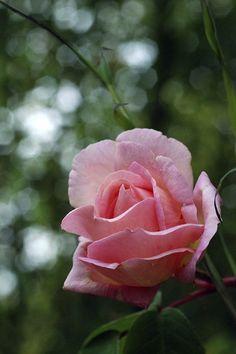 Tea Noisette Climbing Rose: Rosa 'Souvenir de Madame Léonie Viennot' (France, 1898)