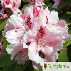Rhododendron (Rhododendron 'Cosmopolitan')