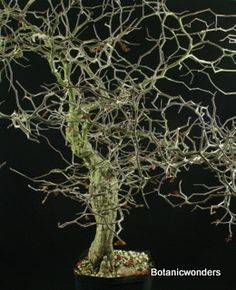 Caudiciform Operculicarya pachypus