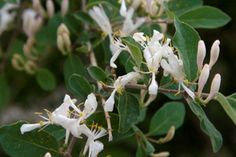 Lonicera 'Freedom' (Honeysuckle) -- fast growing -- small bluish-green leaves -- pale pink flowers in May -- 8-10'h x 6-10'w -- purchased from Weston Nurseries, planted on west side of house in 2004-->> prune after flowering to control height <<--
