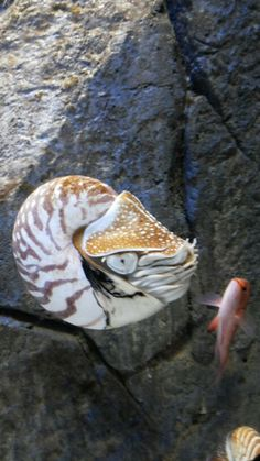 Nautilus and a cute little fish