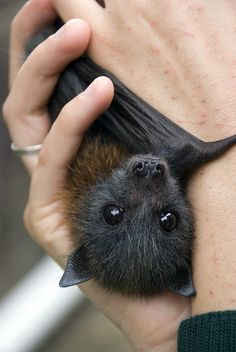 The other day I got to meet the cutest bat ever. His name is 'Duruga'  and he is being handreared by Tegan after he lost his mum in an accident.    There are more pics and info available on the Taronga Website.