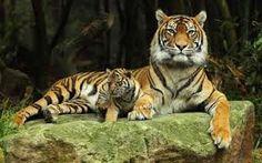 Τιγρηςς♥♥♥