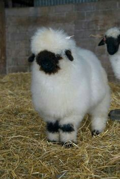 Billedresultat for valais blacknose sheep Cute Baby Animals, Farm Animals, Animals And Pets, Baby Sheep, Cute Sheep, Valais Blacknose Sheep, Fluffy Cows, Cute Lamb, Baby Goats