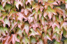 Boston Ivy ... for back near shed? Goes bright red in autumn if kept in a shady spot.