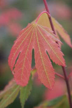 """Acer palmatum 'Manyo no sato' """"Momiji"""" means Japanese maple in Japanese. I've been itching to get to today's blog ..."""