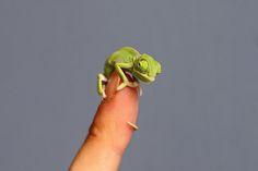 Sydney, Australia Un esemplare di camaleonte velato si aggrappa al dito di uno degli operatori del Taronga Zoo di Sydney, dove nelle ultime settimane sono nati 20 nuovi camaleonti