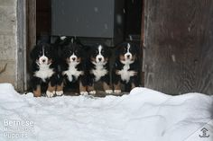 39 Best Bernese Mountain Dogs Farm Life Updates Images