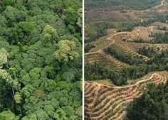 How can we conserve rainforests as suppliers seek to meet increasing demand for palm oil?