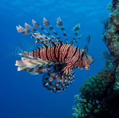 Lion fish beautiful but deadly :/