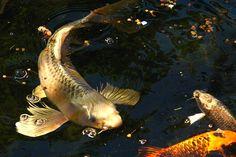 http://www.teokoi.com/wp-content/uploads/2012/09/Koi-Pond-Care-Posted-in-Koi-Garden.jpg