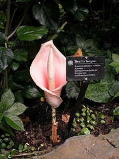 *Rare Exotic*  Tropical Voodoo Lily Fresh Seeds Shipped From Canada