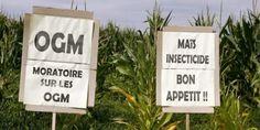 Pancartes anti-OGM dans un champ de maïs à proximité du village de Lugos (Gironde). OGM : l'Europe donne la liberté de choix aux Etats membres http://goo.gl/Dxv4e8